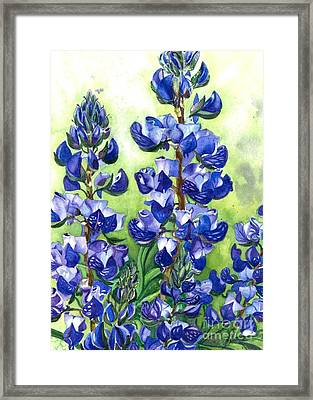 Mountain Blues Lupine Study Framed Print by Barbara Jewell