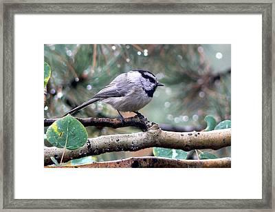 Mountain Chickadee On A Rainy Day Framed Print