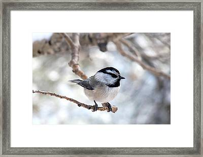 Mountain Chickadee On Branch Framed Print by Marilyn Burton