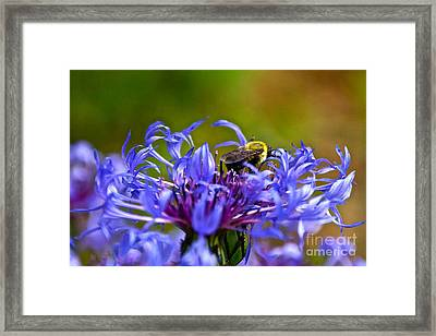 Mountain Cornflower And Bumble Bee Framed Print by Byron Varvarigos