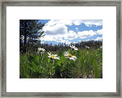 Mountain Daisies Framed Print