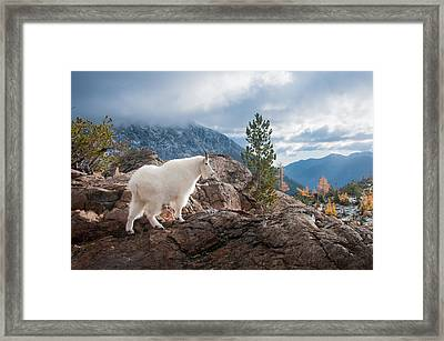 Framed Print featuring the photograph Mountain Goat by Brian Bonham