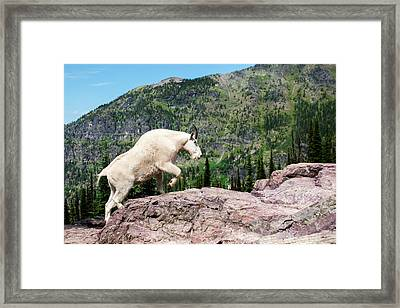 Mountain Goat Climbing Rocks In Glacier Framed Print