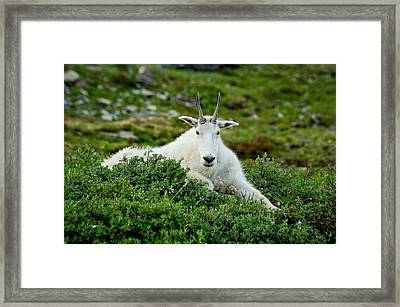 Mountain Goat In The Shade Of Reynolds Mountain Framed Print by Mark Serfass