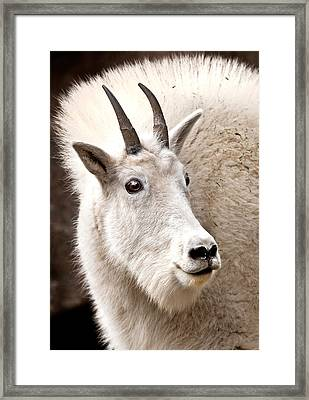 Mountain Goat Framed Print by Jean Noren