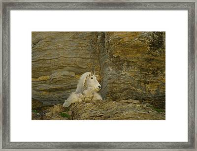 Mountain Goat Framed Print by Jeff Swan