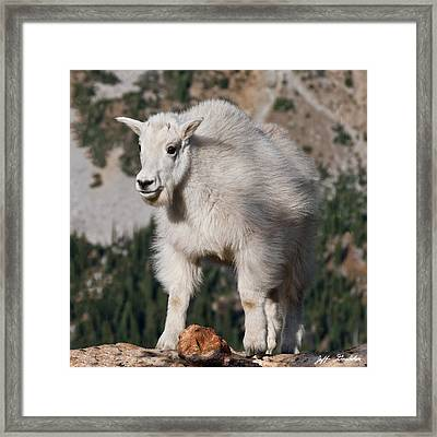Mountain Goat Kid Standing On A Boulder Framed Print