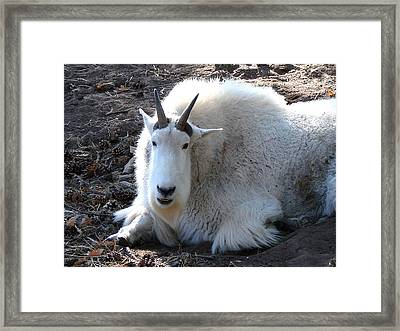 Mountain Goat Framed Print by Linda Cox