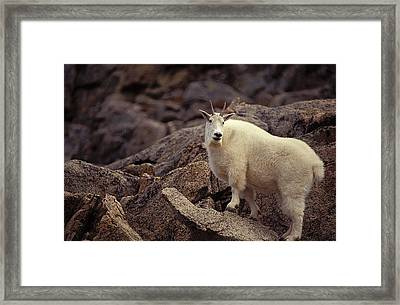 Mountain Goat Nanny Framed Print by Richard J. Green