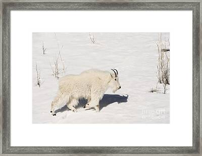 Mountain Goat Stroll Framed Print by Sandra Bronstein