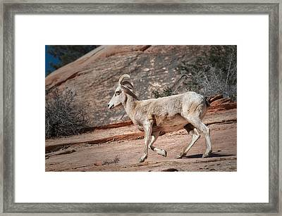 Big Horn Sheep Framed Print