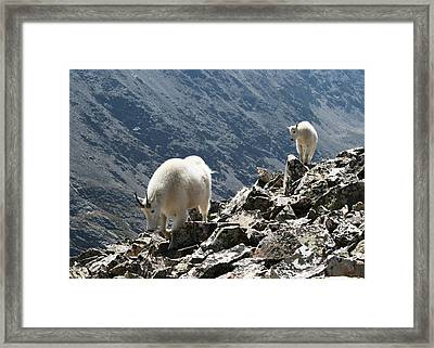 Mountain Goats 2 Framed Print