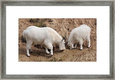 Framed Print featuring the photograph Mountain Goats At The Salt Lick by Vivian Christopher