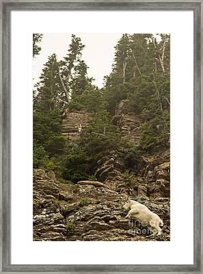 Mountain Goats In Glacier 2 Framed Print by Natural Focal Point Photography