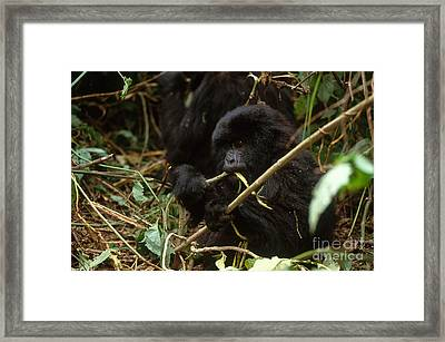 Mountain Gorilla Framed Print by Art Wolfe