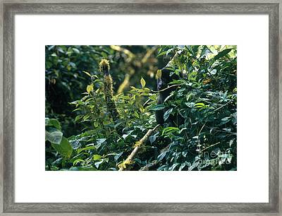 Mountain Gorilla In Uganda Framed Print by Art Wolfe