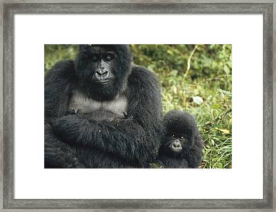Mountain Gorilla Mother And Baby Framed Print