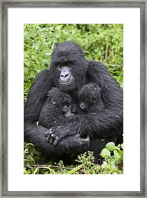 Mountain Gorilla Mother And Twins Framed Print