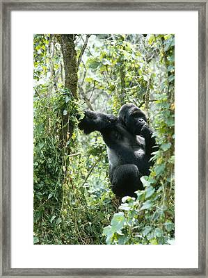 Mountain Gorilla Framed Print by Tierbild Okapia