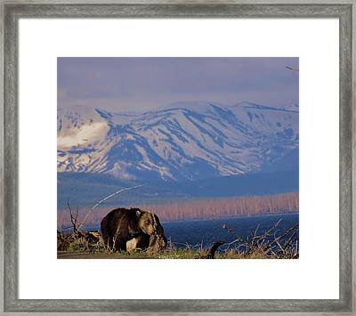 Mountain Grizzly Framed Print by Dan Sproul