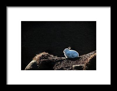 European Hare Framed Prints