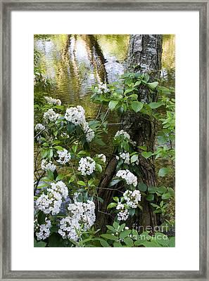 Mountain Laurel 1 Framed Print
