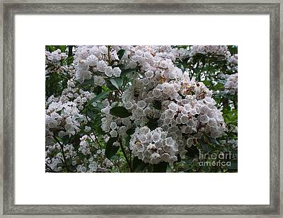 Mountain Laurel With Bumblebees Framed Print by Timothy Connard