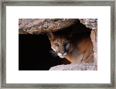Mountain Lion Peering From Cave Framed Print