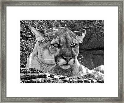 Mountain Lion Bergen County Zoo Framed Print