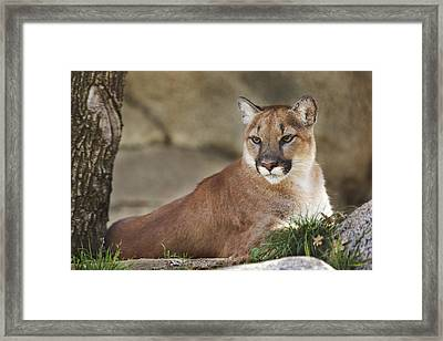 Framed Print featuring the photograph Mountain Lion  by Brian Cross