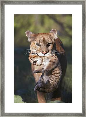 Mountain Lion Carrying Her Cub Framed Print