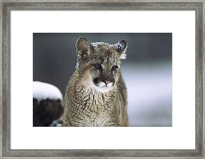 Mountain Lion Cub In Snow Montana Framed Print