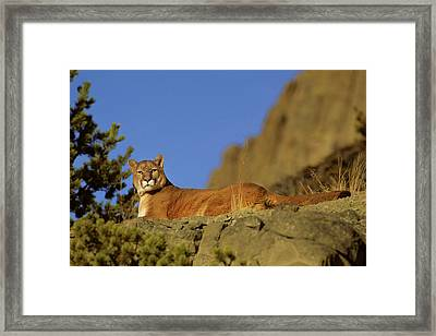 Mountain Lion (felis Concolor Framed Print