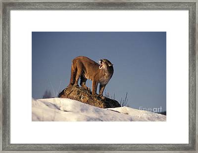 Mountain Lion Felis Concolor Framed Print by Ron Sanford