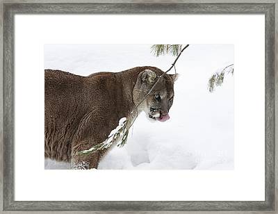 Mountain Lion In A Snow Covered Pine Forest Framed Print by Inspired Nature Photography Fine Art Photography