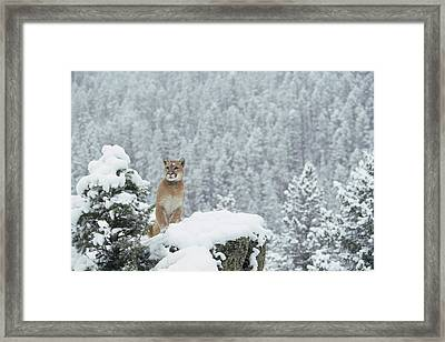 Mountain Lion In Snow Montana Framed Print