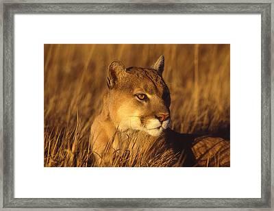 Mountain Lion Montana Framed Print