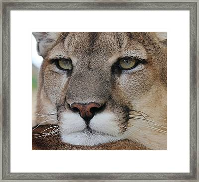 Mountain Lion Portrait 2 Framed Print by Diane Alexander