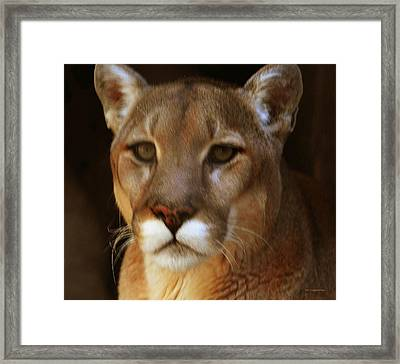 Mountain Lion Portrait Framed Print by DiDi Higginbotham