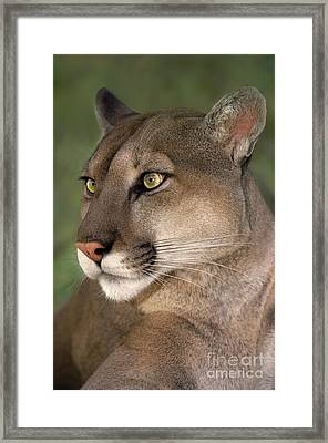 Framed Print featuring the photograph Mountain Lion Portrait Wildlife Rescue by Dave Welling