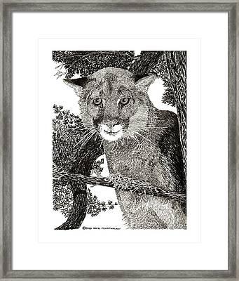 Mountain Lion Puma Framed Print by Jack Pumphrey