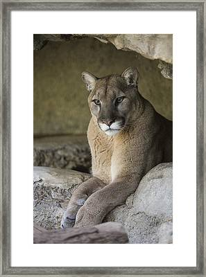 Mountain Lion Framed Print by San Diego Zoo