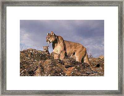 Mountain Lions Felis Concolor Framed Print by Ron Sanford
