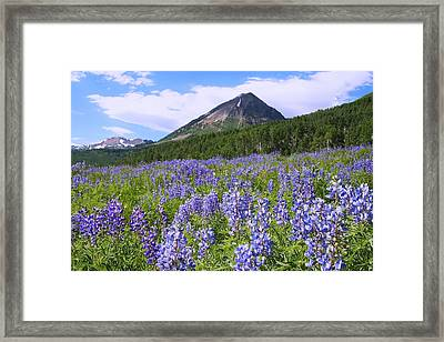 Mountain Lupine Meadow Framed Print