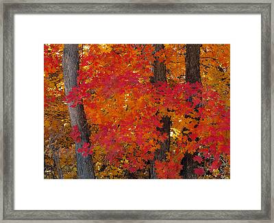 Mountain Maple Tree Framed Print by Leland D Howard