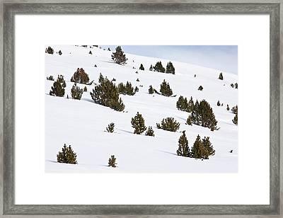 Mountain Pine (pinus Mugo) Trees In Snow Framed Print by Bob Gibbons