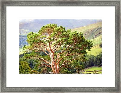 Mountain Pine Tree In Wicklow. Ireland Framed Print by Jenny Rainbow