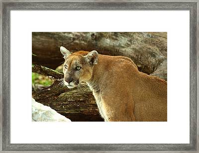 Mountian Lion Framed Print