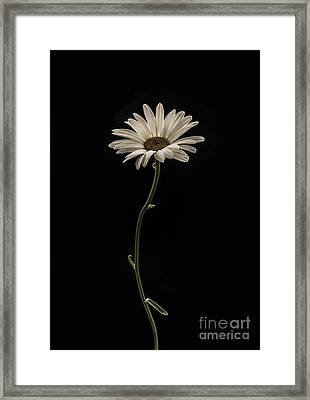 Mournful Daisy Framed Print by Diane Diederich