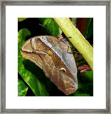 Mournful Owl Butterfly Framed Print by Amy McDaniel
